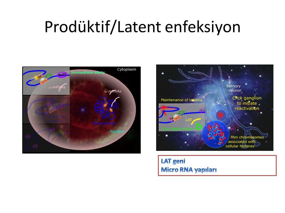 Prodüktif/Latent enfeksiyon