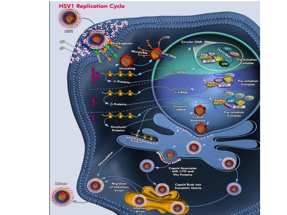 Herpesvirus replikasyon
