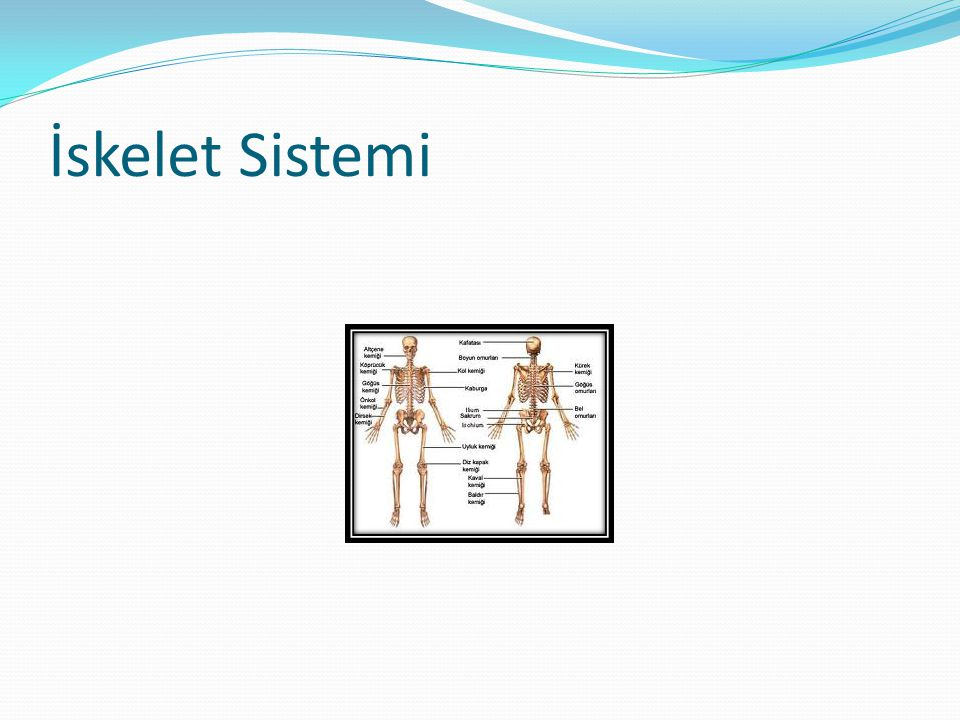 İskelet Sistemi