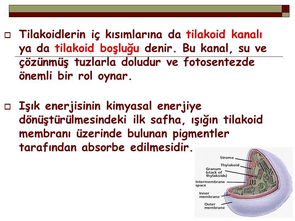 Tilakoidlerin iç kısımlarına da tilakoid kanalı ya da tilakoid boşluğu denir. Bu kanal, su ve çözünmüş tuzlarla doludur ve fotosentezde önemli bir rol oynar.