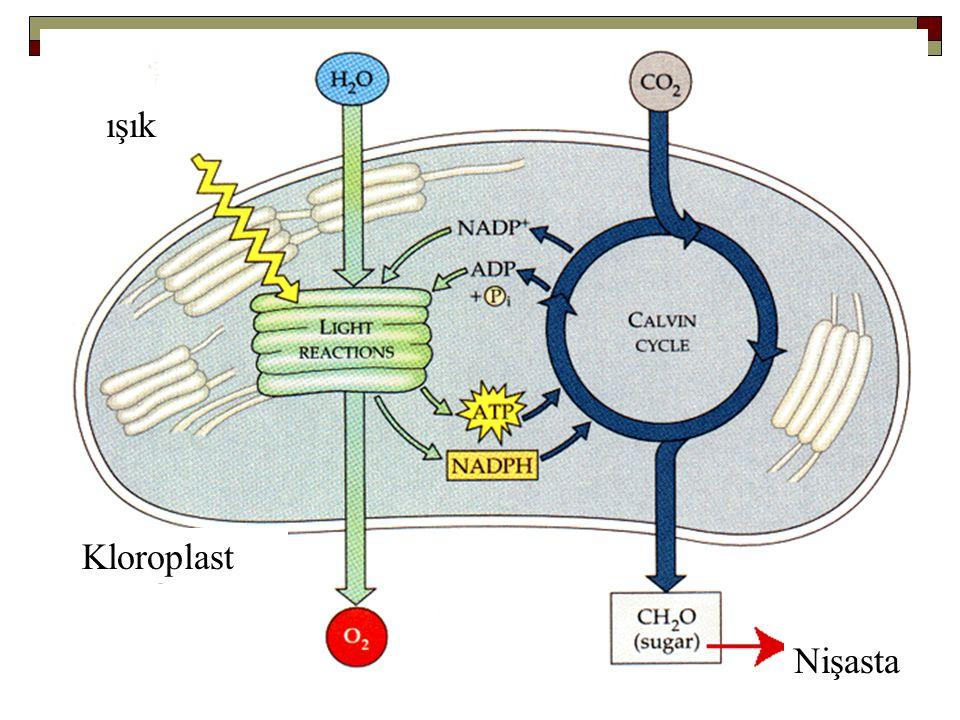 ışık Kloroplast Nişasta