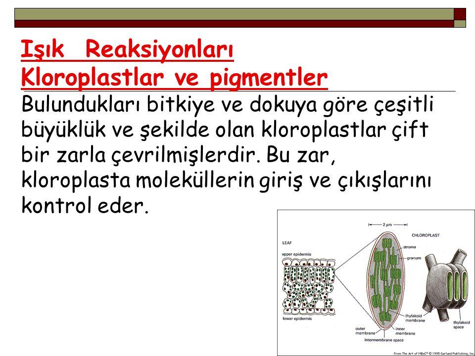 Işık Reaksiyonları Kloroplastlar ve pigmentler Bulundukları bitkiye ve dokuya göre çeşitli büyüklük ve şekilde olan kloroplastlar çift bir zarla çevrilmişlerdir.