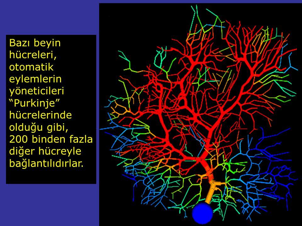 Bazı beyin hücreleri, otomatik eylemlerin yöneticileri Purkinje hücrelerinde olduğu gibi,