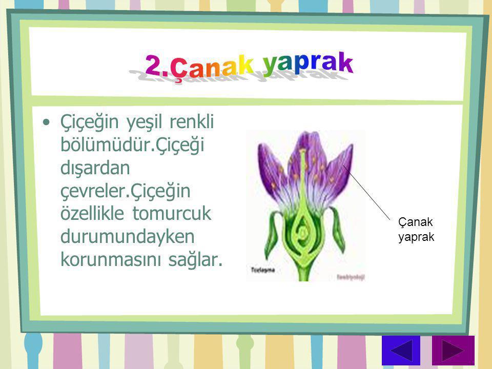 2.Çanak yaprak Çiçeğin yeşil renkli bölümüdür.Çiçeği dışardan çevreler.Çiçeğin özellikle tomurcuk durumundayken korunmasını sağlar.