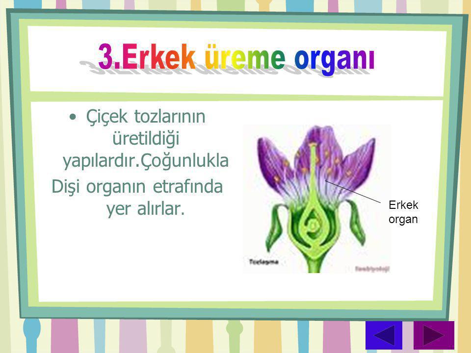 3.Erkek üreme organı Çiçek tozlarının üretildiği yapılardır.Çoğunlukla