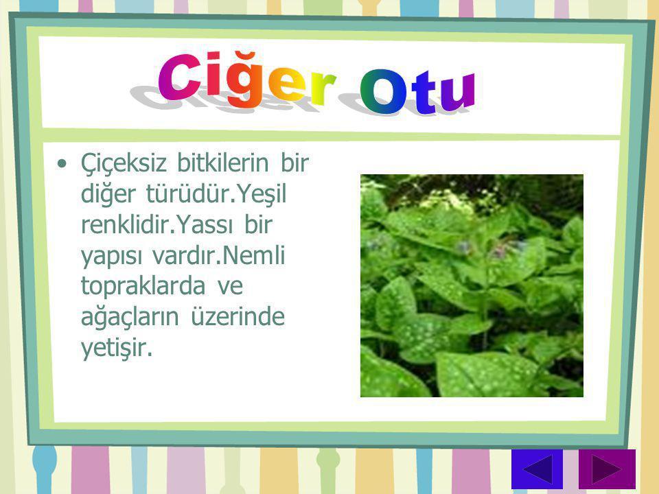 Ciğer Otu Çiçeksiz bitkilerin bir diğer türüdür.Yeşil renklidir.Yassı bir yapısı vardır.Nemli topraklarda ve ağaçların üzerinde yetişir.