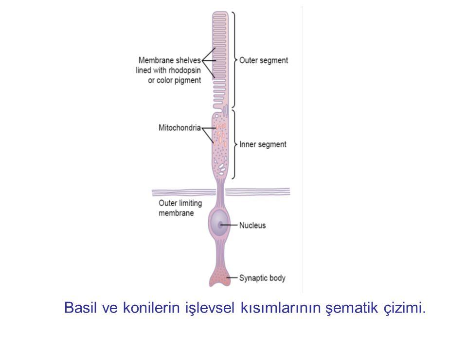 Basil ve konilerin işlevsel kısımlarının şematik çizimi.
