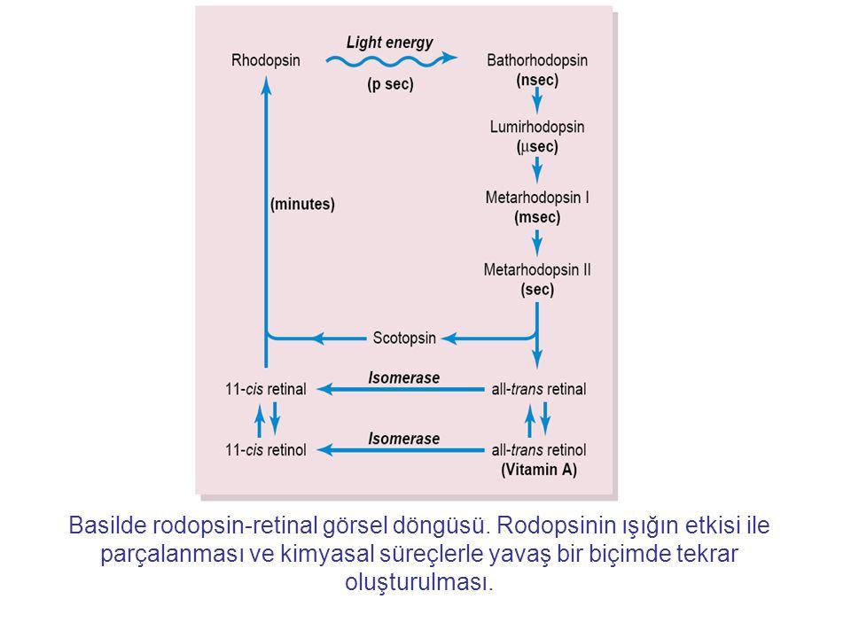 Basilde rodopsin-retinal görsel döngüsü