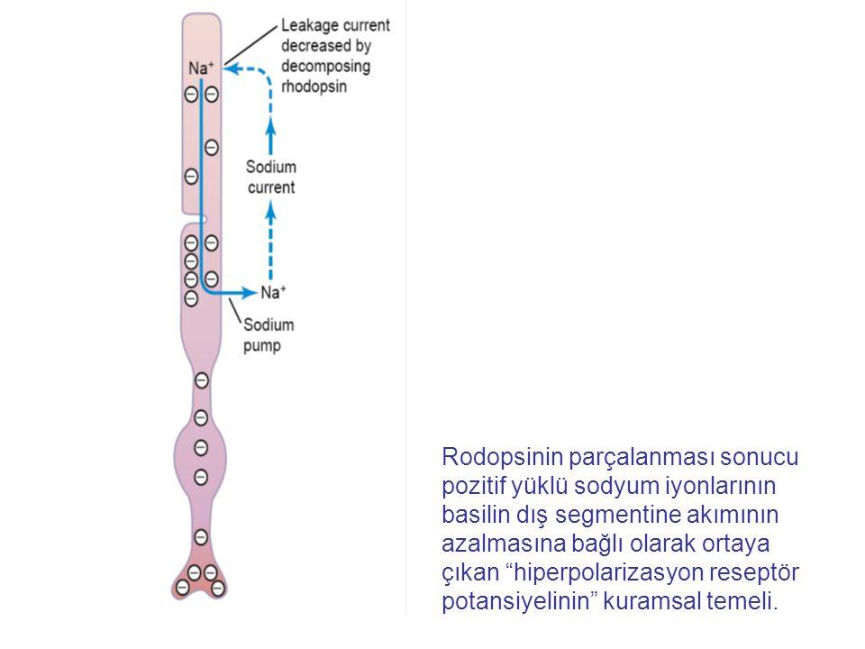 Rodopsinin parçalanması sonucu pozitif yüklü sodyum iyonlarının basilin dış segmentine akımının azalmasına bağlı olarak ortaya çıkan hiperpolarizasyon reseptör potansiyelinin kuramsal temeli.