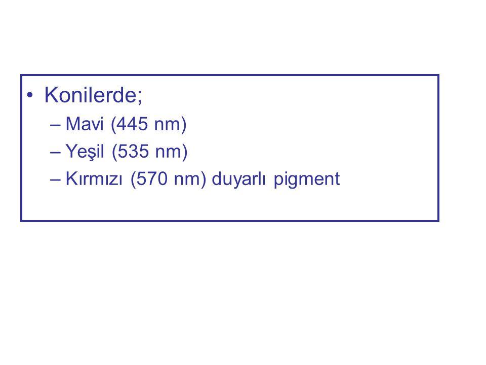 Konilerde; Mavi (445 nm) Yeşil (535 nm)