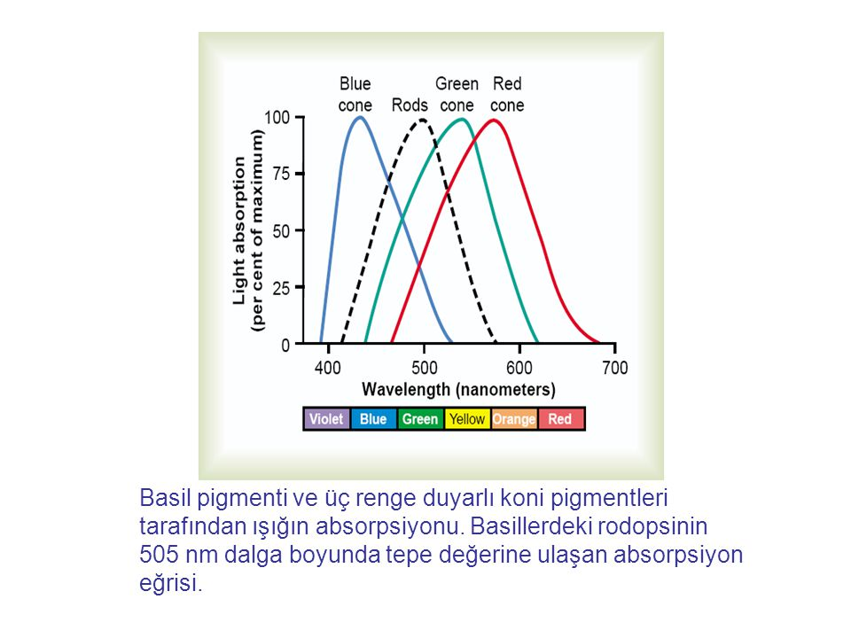 Basil pigmenti ve üç renge duyarlı koni pigmentleri tarafından ışığın absorpsiyonu.