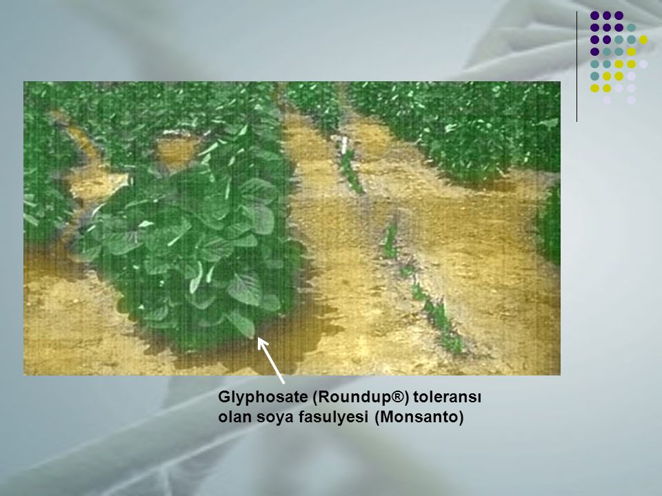 Glyphosate (Roundup®) toleransı