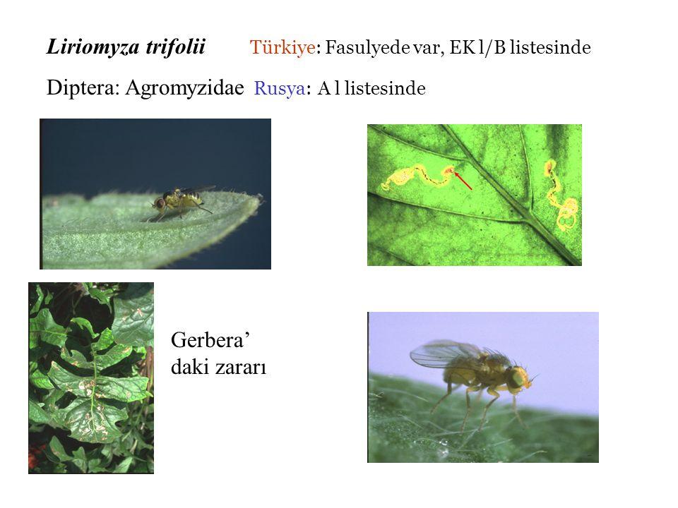 Liriomyza trifolii Türkiye: Fasulyede var, EK l/B listesinde