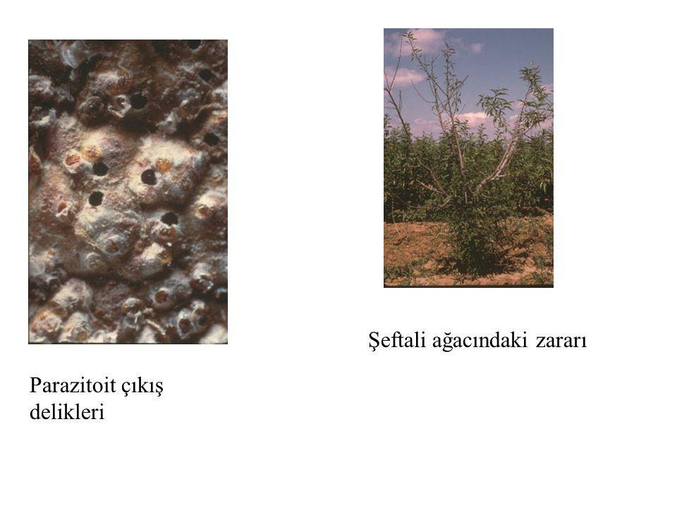 Şeftali ağacındaki zararı