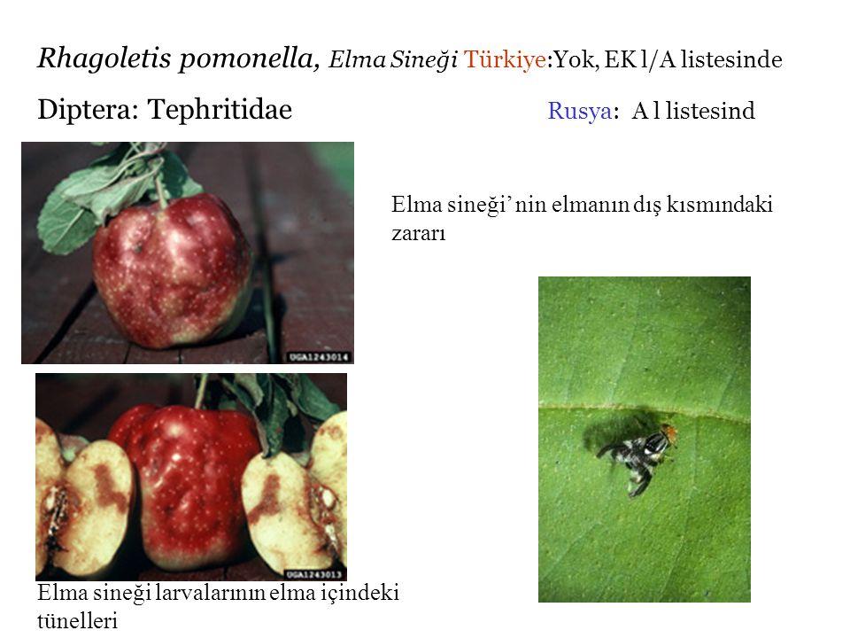 Rhagoletis pomonella, Elma Sineği Türkiye:Yok, EK l/A listesinde