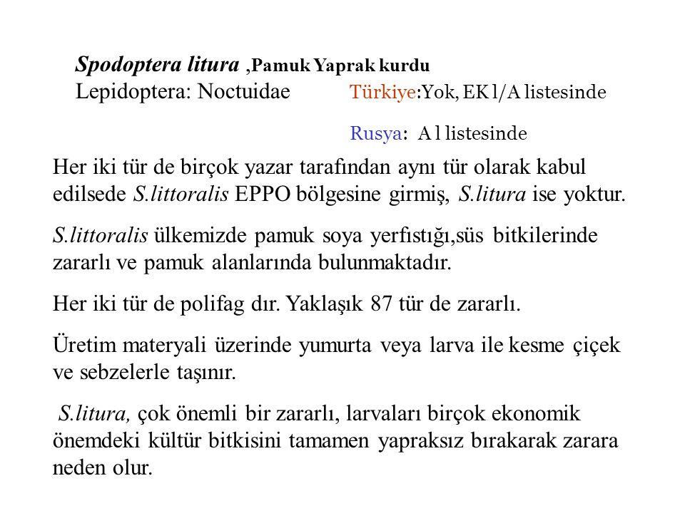 Spodoptera litura ,Pamuk Yaprak kurdu