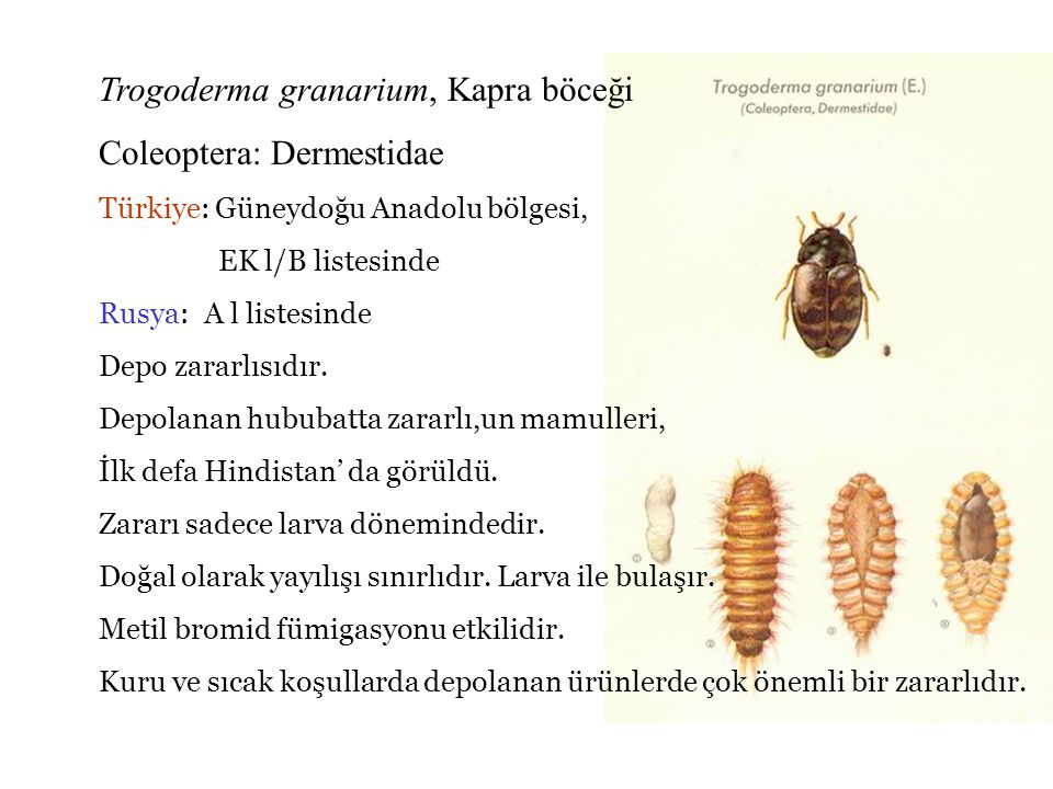 Trogoderma granarium, Kapra böceği Coleoptera: Dermestidae
