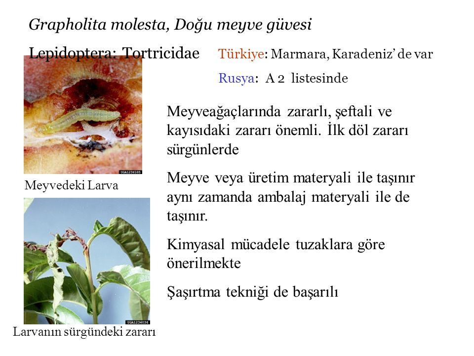 Grapholita molesta, Doğu meyve güvesi