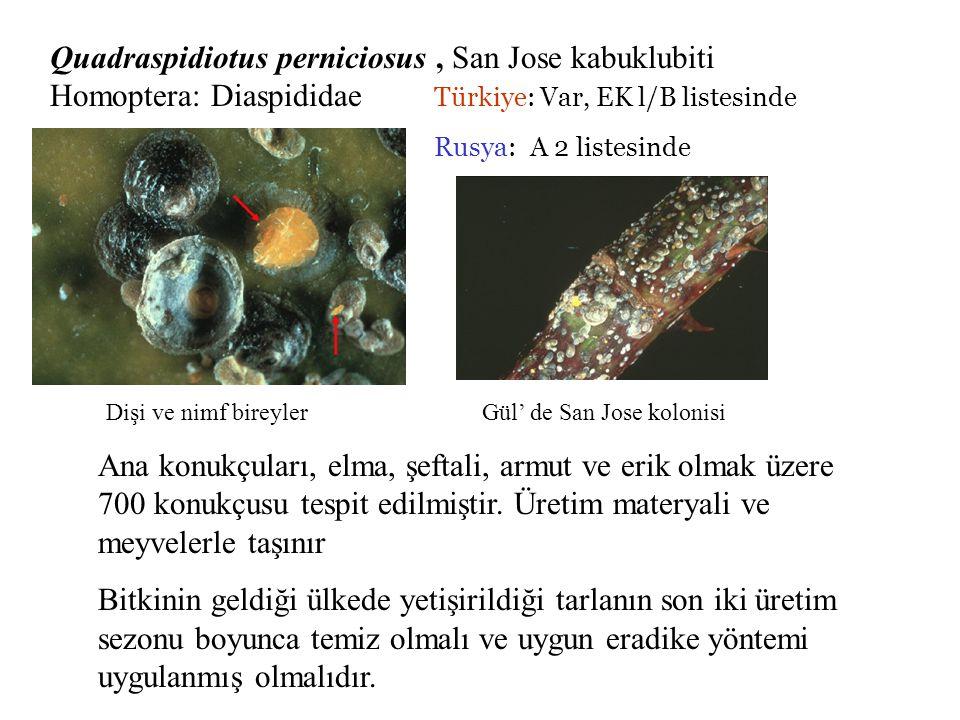 Quadraspidiotus perniciosus , San Jose kabuklubiti Homoptera: Diaspididae Türkiye: Var, EK l/B listesinde