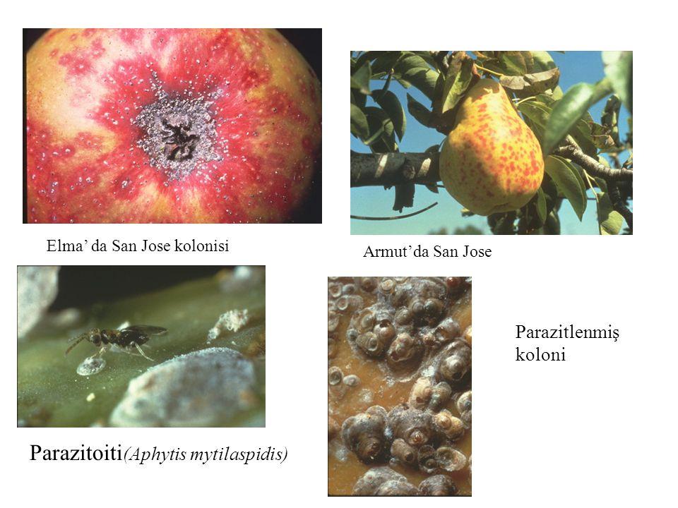 Parazitoiti(Aphytis mytilaspidis)
