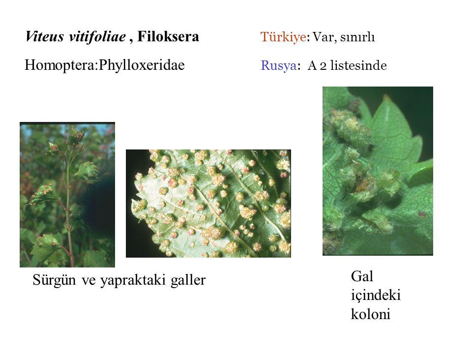 Viteus vitifoliae , Filoksera Türkiye: Var, sınırlı