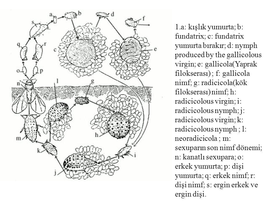 a: kışlık yumurta; b: fundatrix; c: fundatrix yumurta bırakır; d: nymph produced by the gallicolous virgin; e: gallicola(Yaprak filokserası) ; f: gallicola nimf; g: radicicola(kök filokserası) nimf; h: radicicolous virgin; i: radicicolous nymph; j: radicicolous virgin; k: radicicolous nymph ; l: neoradicicola ; m: sexuparın son nimf dönemi; n: kanatlı sexupara; o: erkek yumurta; p: dişi yumurta; q: erkek nimf; r: dişi nimf; s: ergin erkek ve ergin dişi.