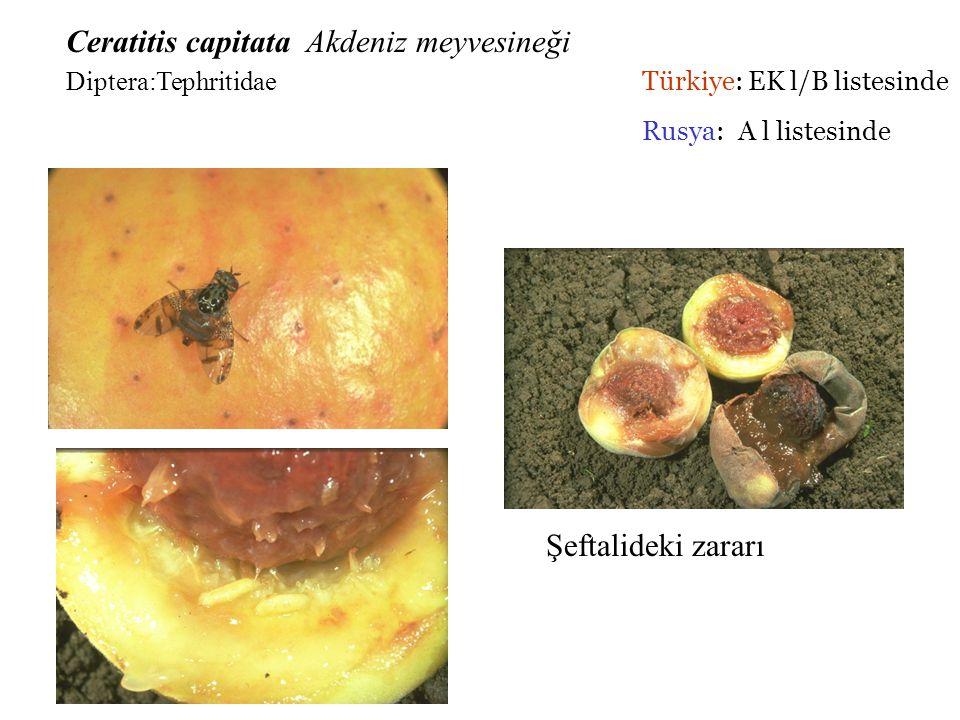 Ceratitis capitata Akdeniz meyvesineği. Diptera:Tephritidae