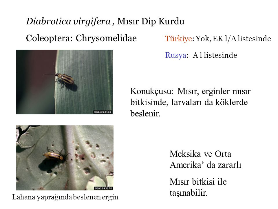 Diabrotica virgifera , Mısır Dip Kurdu