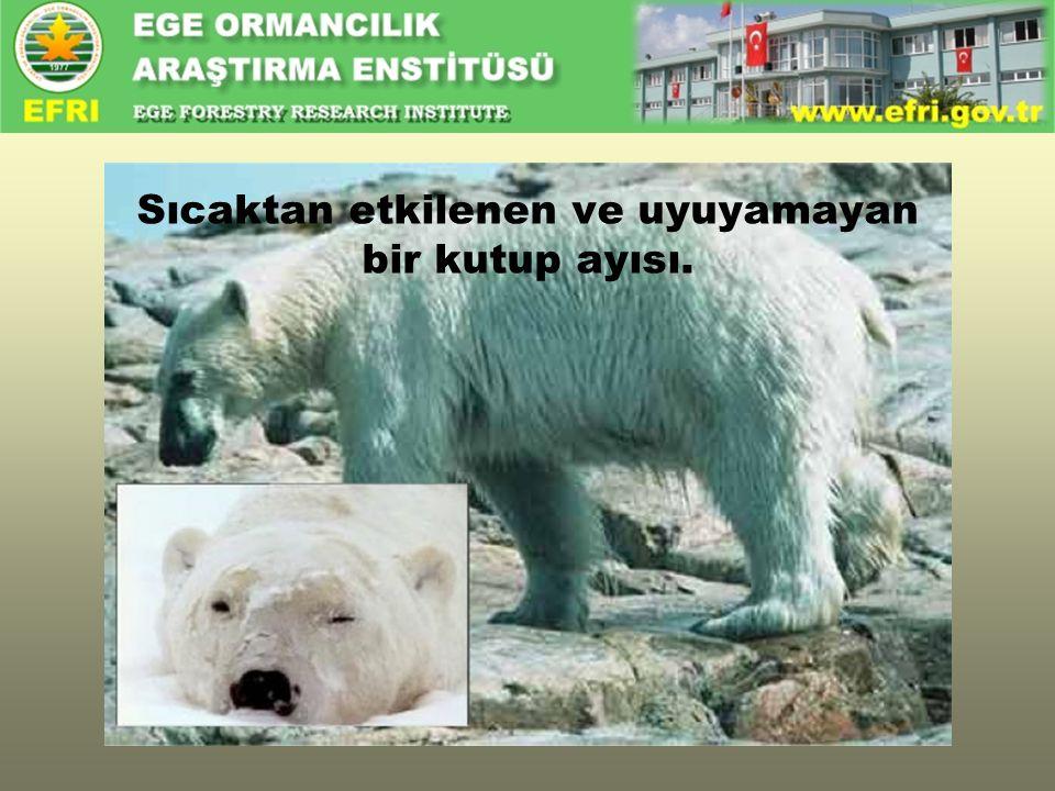 Sıcaktan etkilenen ve uyuyamayan bir kutup ayısı.