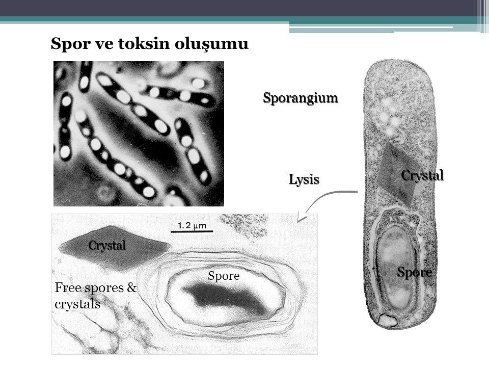 Spor ve toksin oluşumu Sporangium Crystal Lysis Spore
