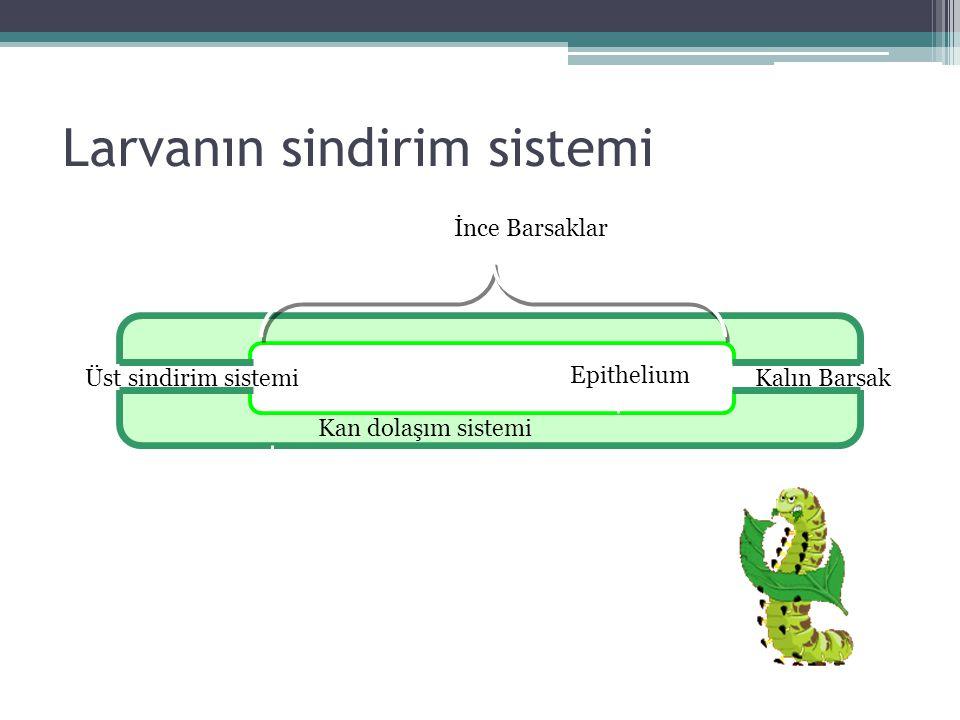 Larvanın sindirim sistemi