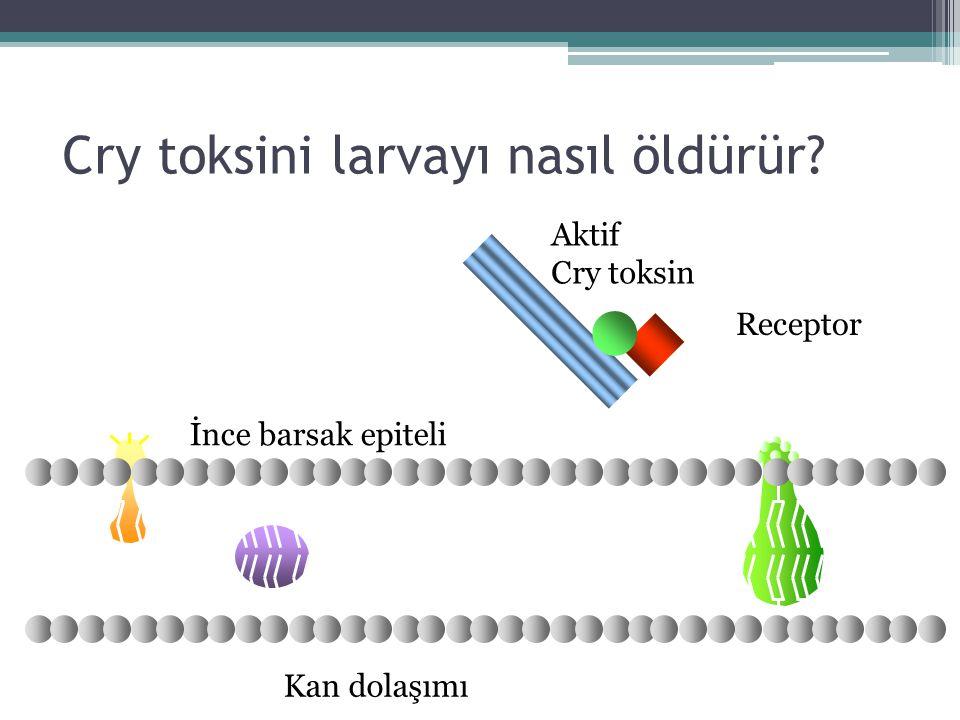 Cry toksini larvayı nasıl öldürür