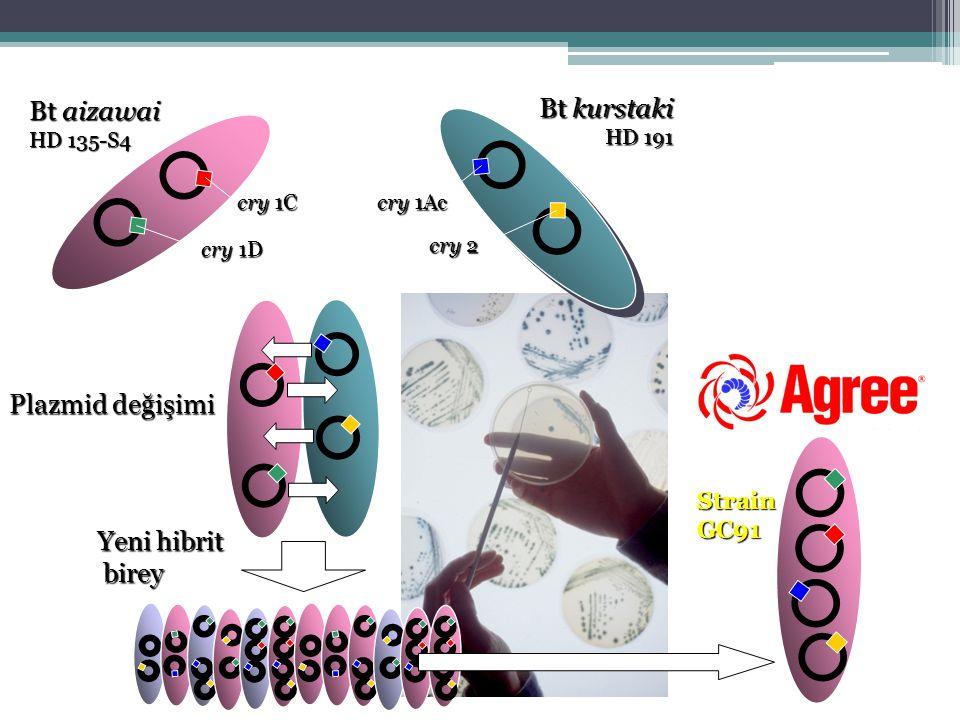 Bt aizawai Bt kurstaki Plazmid değişimi Yeni hibrit birey Strain GC91