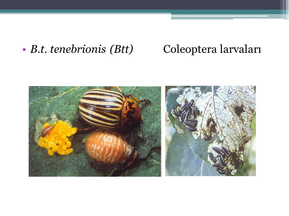 B.t. tenebrionis (Btt) Coleoptera larvaları
