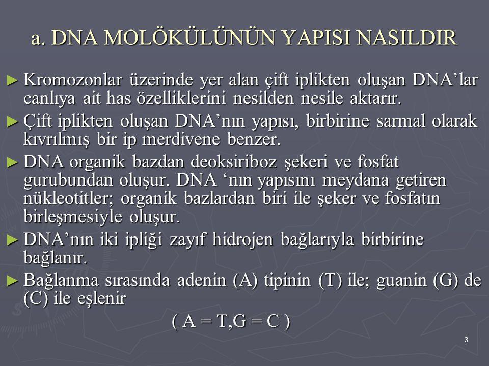 a. DNA MOLÖKÜLÜNÜN YAPISI NASILDIR