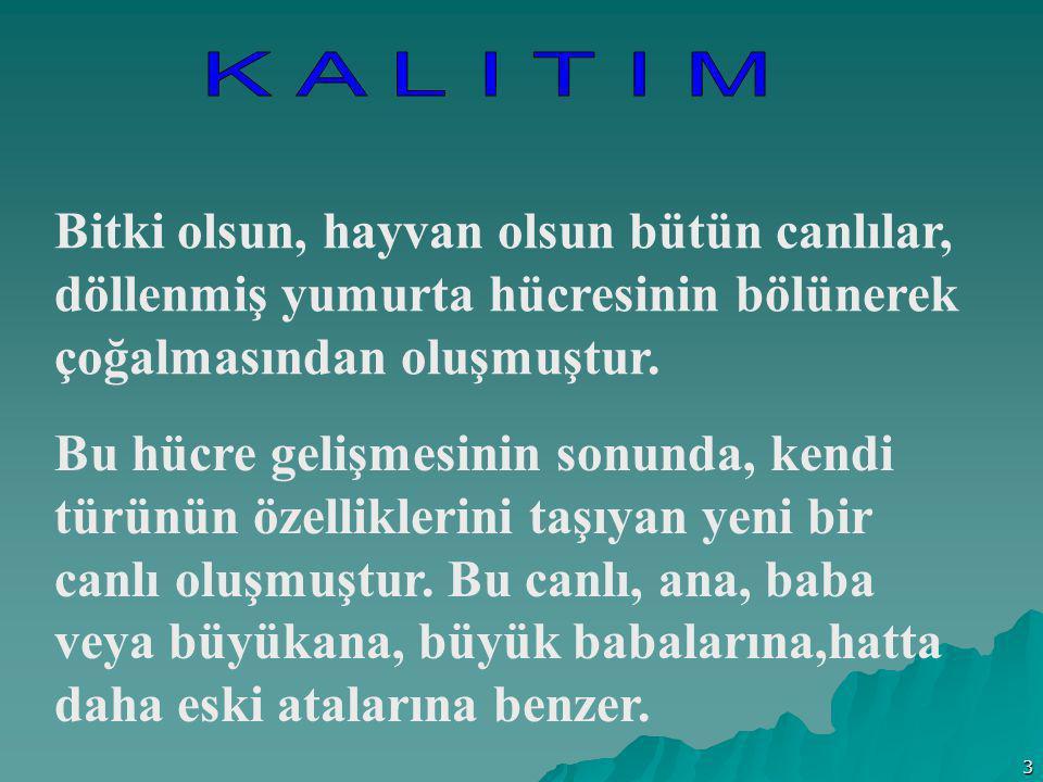 K A L I T I M Bitki olsun, hayvan olsun bütün canlılar, döllenmiş yumurta hücresinin bölünerek çoğalmasından oluşmuştur.