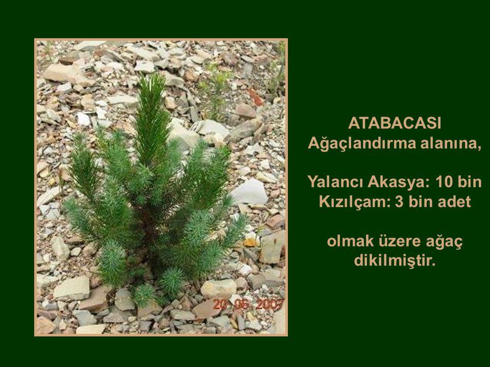 ATABACASI Ağaçlandırma alanına,