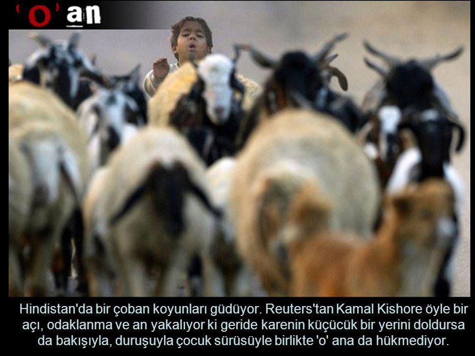 Hindistan da bir çoban koyunları güdüyor