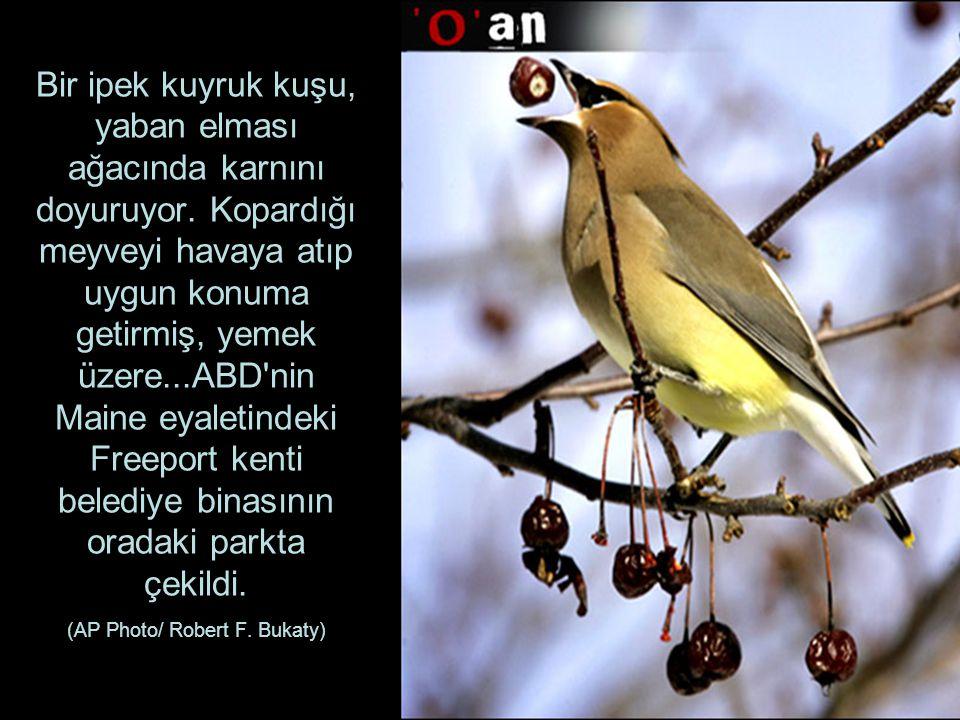 Bir ipek kuyruk kuşu, yaban elması ağacında karnını doyuruyor