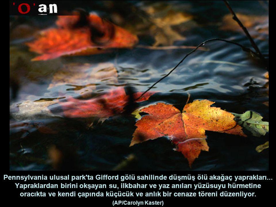 Pennsylvania ulusal park ta Gifford gölü sahilinde düşmüş ölü akağaç yaprakları...