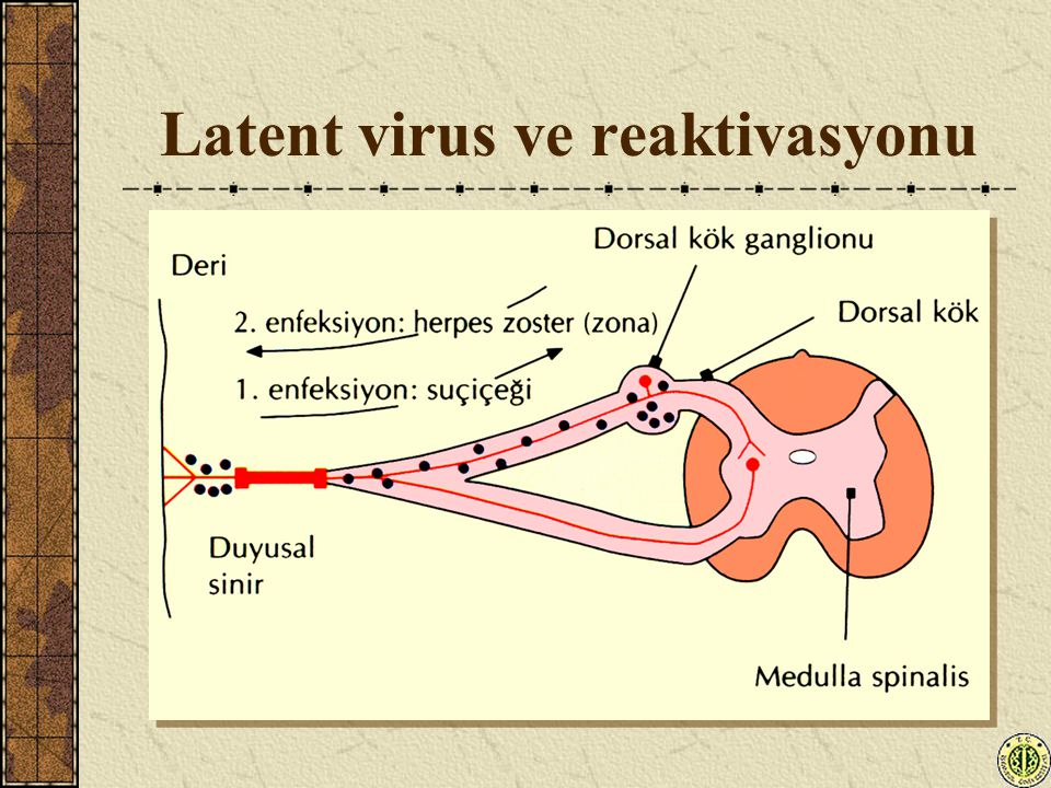 Latent virus ve reaktivasyonu