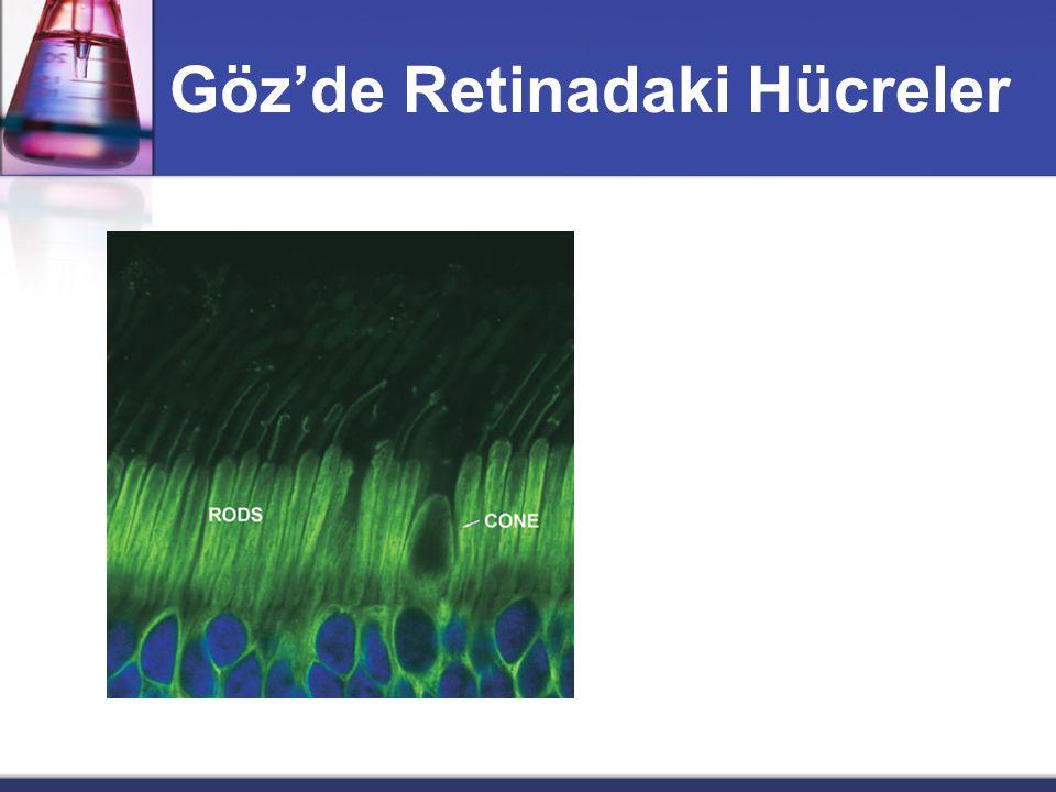 Göz'de Retinadaki Hücreler