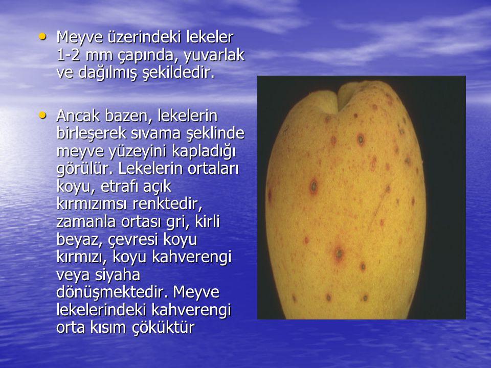 Meyve üzerindeki lekeler 1-2 mm çapında, yuvarlak ve dağılmış şekildedir.
