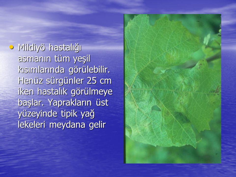 Mildiyö hastalığı asmanın tüm yeşil kısımlarında görülebilir