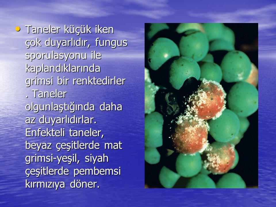 Taneler küçük iken çok duyarlıdır, fungus sporulasyonu ile kaplandıklarında grimsi bir renktedirler .