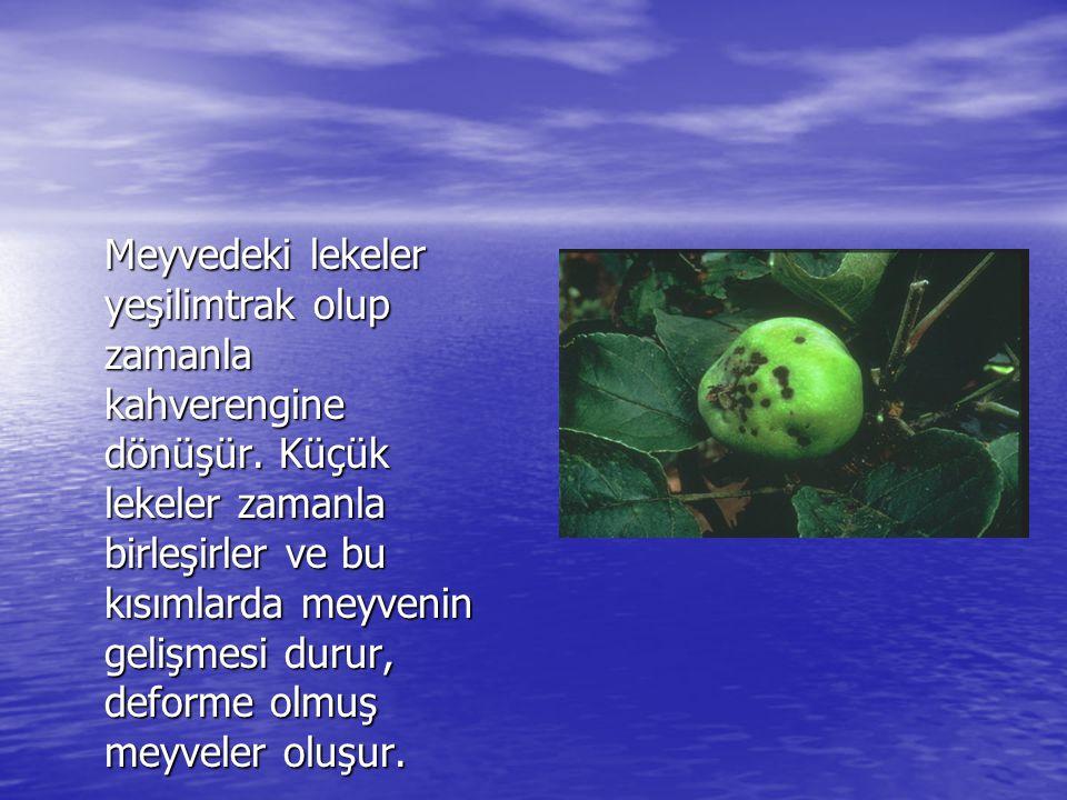 Meyvedeki lekeler yeşilimtrak olup zamanla kahverengine dönüşür
