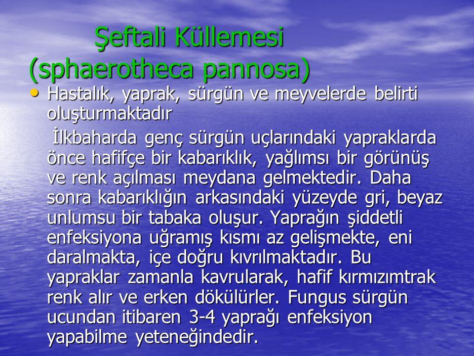Şeftali Küllemesi (sphaerotheca pannosa)