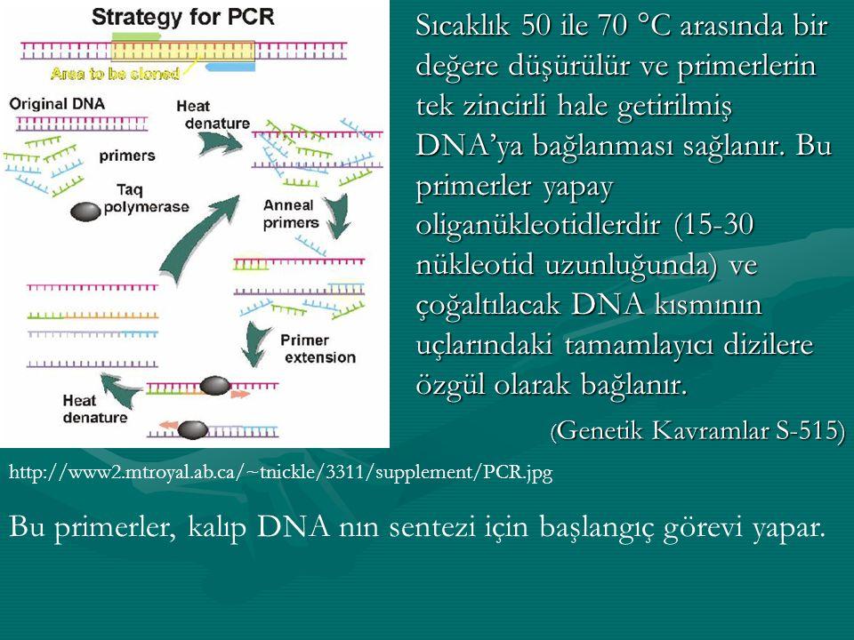 Bu primerler, kalıp DNA nın sentezi için başlangıç görevi yapar.