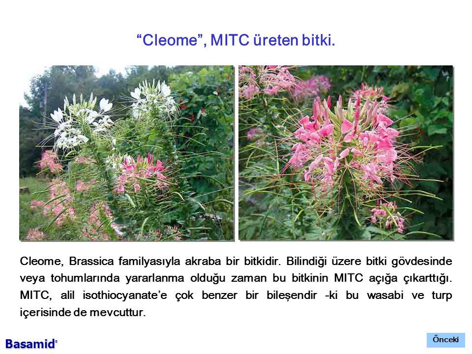 Cleome , MITC üreten bitki.