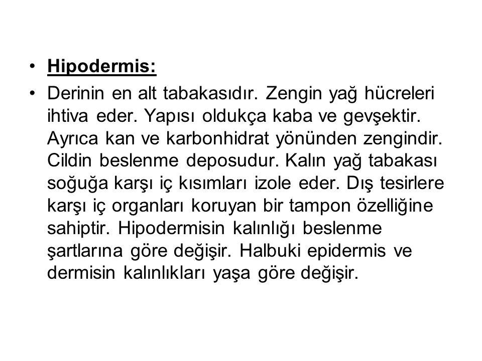 Hipodermis: